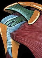vue antérieure de la coiffe : sous scapulaire et longue portion du biceps